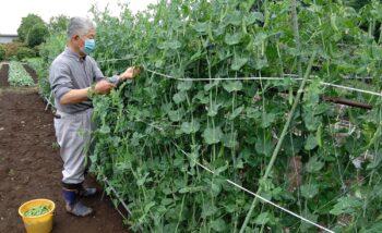 【筑西市】アロー住建のふれあい農園で旬の野菜収穫しました!