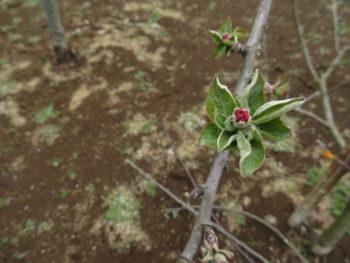 リンゴの花が咲きました(*^^*)
